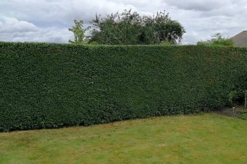 Hedge Maintenance & Removal